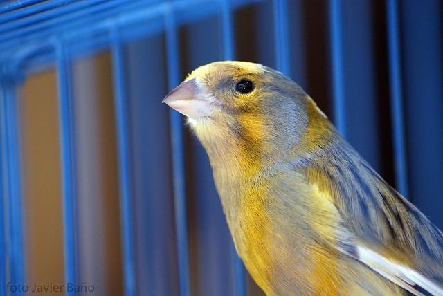canary-20522_640